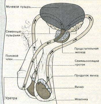 prekrashenie-obrazovaniya-spermatozoidov